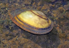 Hard shelled river mussel